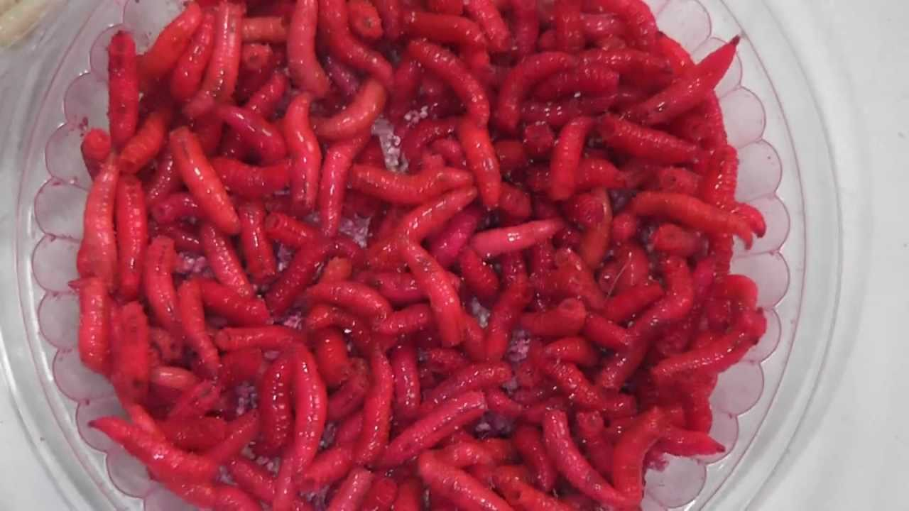 Опарыши покрасить в красный цвет в домашних условиях